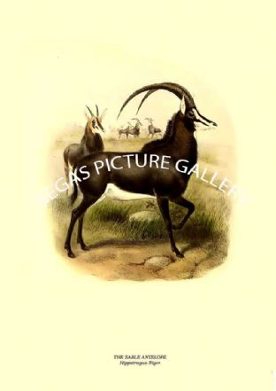 THE SABLE ANTELOPE -- Hippotragus Niger